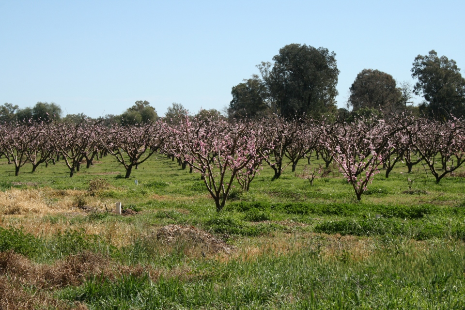 Orchard, somewhere in south eastern Australia